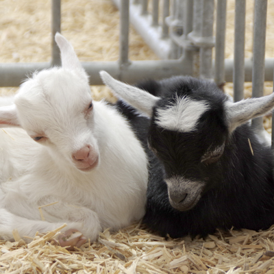 Youth Registered Dairy Goat