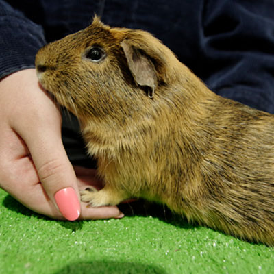 Youth Cavy Show
